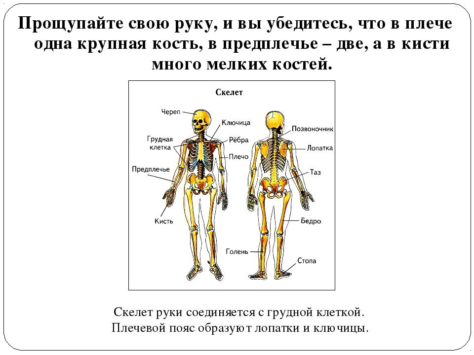 Прощупайте свою руку, и вы убедитесь, что в плече одна крупная кость, в предп...