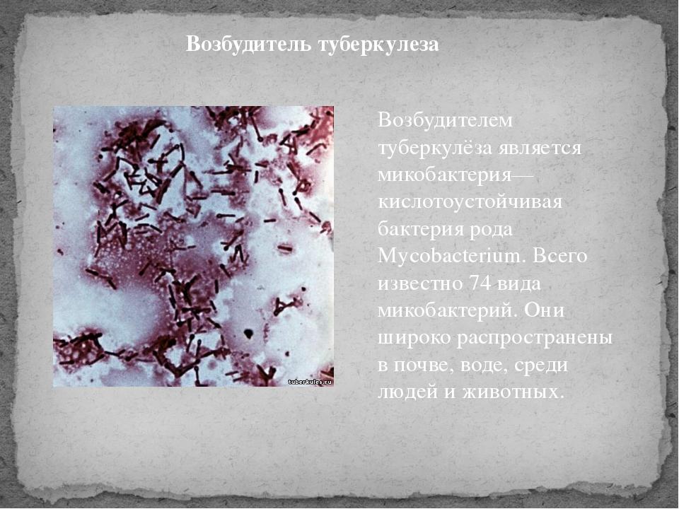 Возбудитель туберкулеза Возбудителем туберкулёза является микобактерия— кисло...