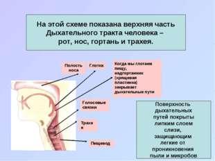 Поверхность дыхательных путей покрыты липким слоем слизи, защищающим легкие