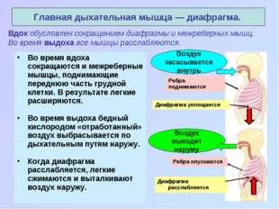 Вдох обусловлен сокращением диафрагмы и межреберных мышц. Во время выдоха все