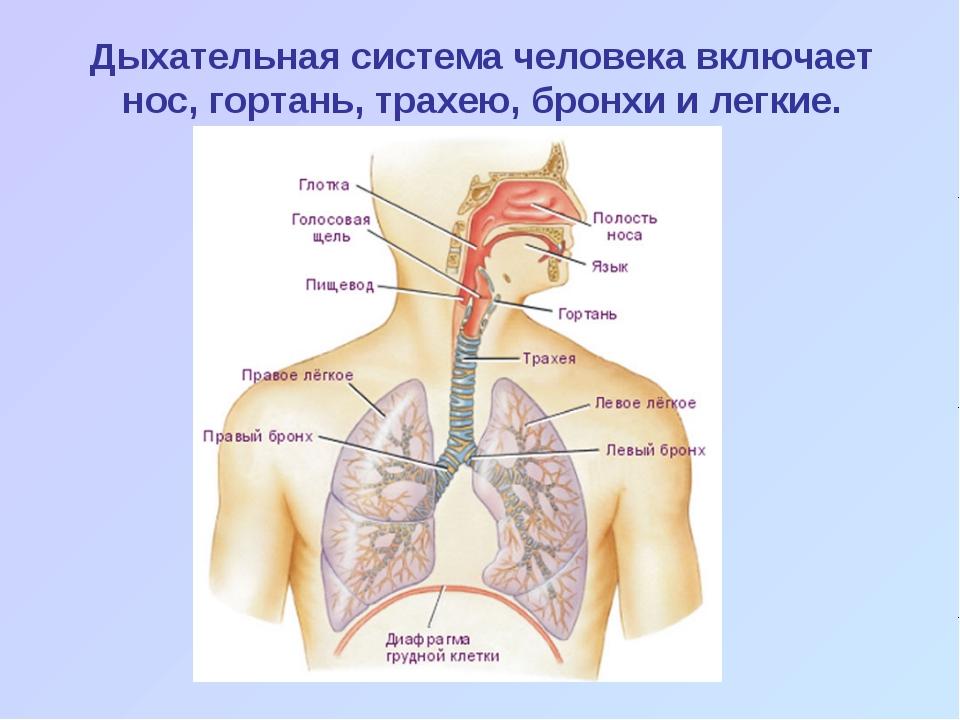 Дыхательная система человека включает нос, гортань, трахею, бронхи и легкие.