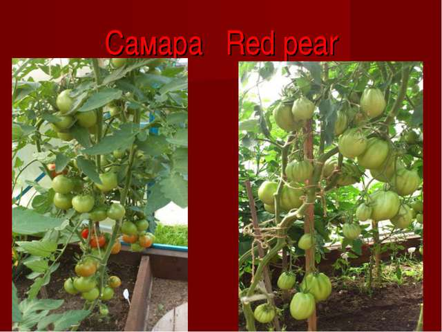 Самара Red pear