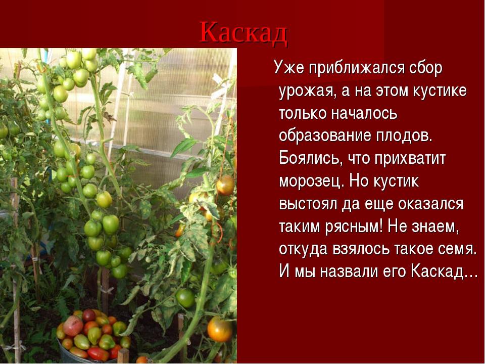 Каскад Уже приближался сбор урожая, а на этом кустике только началось образов...