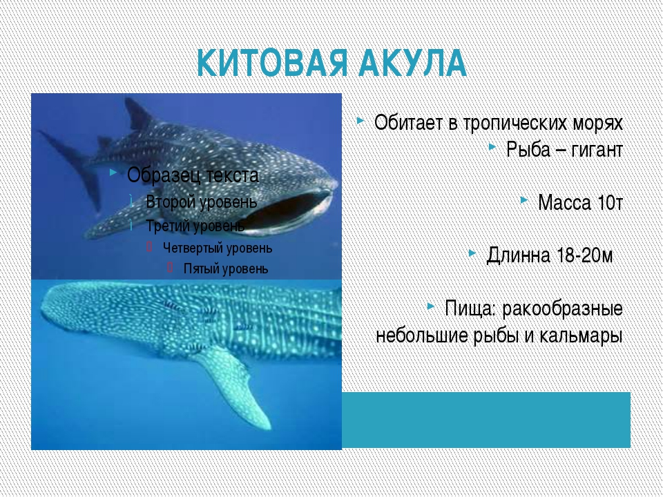 КИТОВАЯ АКУЛА Обитает в тропических морях Рыба – гигант Масса 10т Длинна 18-2...