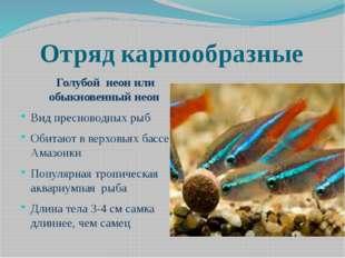 Отряд карпообразные Голубой неон или обыкновенный неон Вид пресноводных рыб О