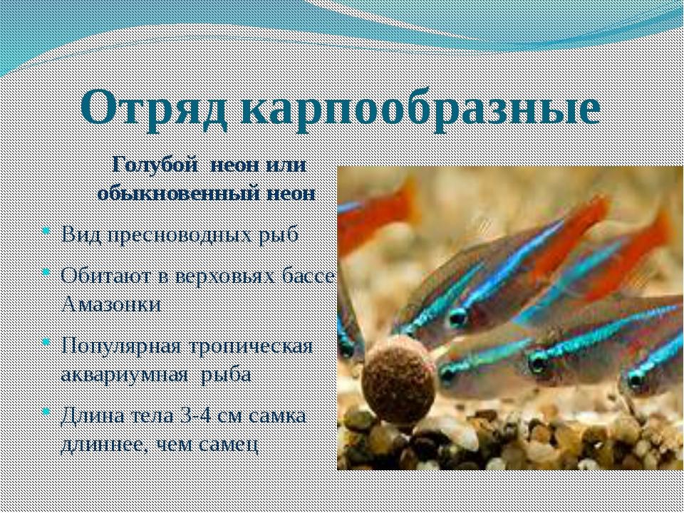 Отряд карпообразные Голубой неон или обыкновенный неон Вид пресноводных рыб О...