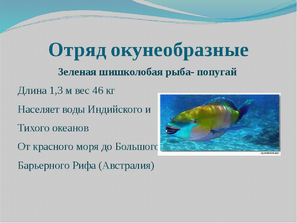 Отряд окунеобразные Зеленая шишколобая рыба- попугай Длина 1,3 м вес 46 кг На...
