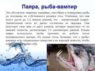 Это абсолютно свирепые хищники, способные к пожиранию рыбы до половины их соб