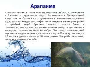 Арапаимы являются гигантскими плотоядными рыбами, которые живут в Амазонке и