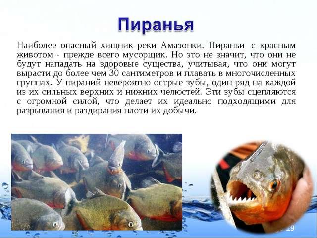 Наиболее опасный хищник реки Амазонки. Пираньи с красным животом - прежде вс...
