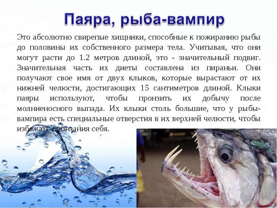 Это абсолютно свирепые хищники, способные к пожиранию рыбы до половины их соб...