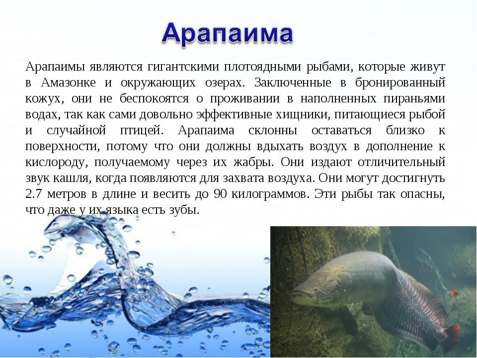Арапаимы являются гигантскими плотоядными рыбами, которые живут в Амазонке и...