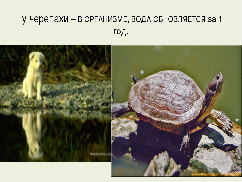 у черепахи – В ОРГАНИЗМЕ, ВОДА ОБНОВЛЯЕТСЯ за 1 год.