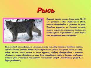 Рысь Крупная кошка, имеет длину тела 82-105 см, короткий словно обрубленный х