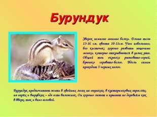 Бурундук Зверек немного меньше белки. Длина тела 13-16 см, хвоста 10-11см. Уш