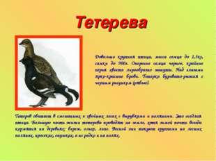 Тетерева Довольно крупная птица, масса самца до 1,5кг, самки до 900г. Оперени