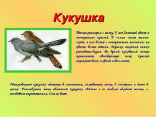 Кукушка Птица размером с галку. У нее длинный хвост и заостренные крылья. У с