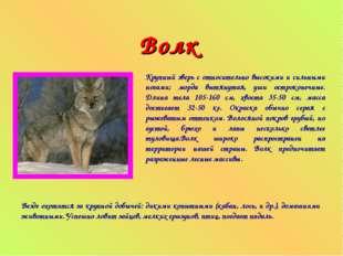 Волк Крупный зверь с относительно высокими и сильными ногами; морда вытянутая