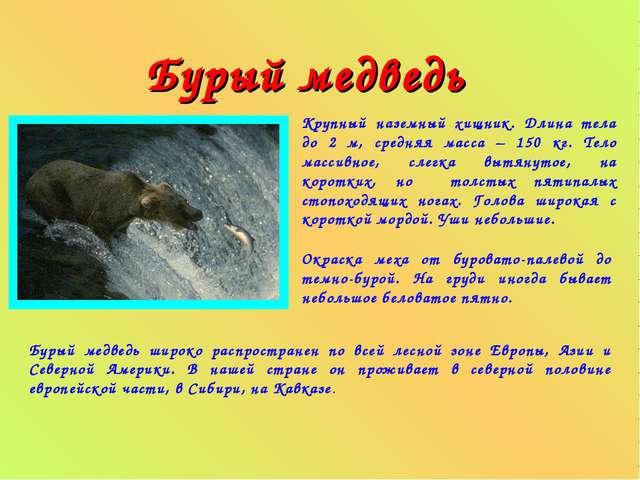 Бурый медведь Крупный наземный хищник. Длина тела до 2 м, средняя масса – 15...
