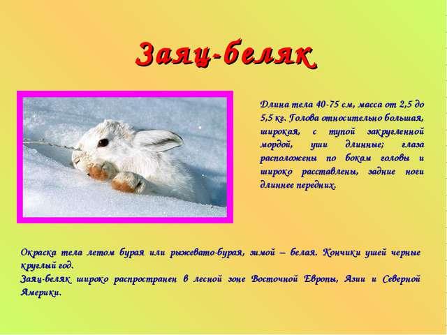 Заяц-беляк Длина тела 40-75 см, масса от 2,5 до 5,5 кг. Голова относительно б...