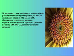 В корзинках подсолнечника семена также расположены по двум спиралям, их число