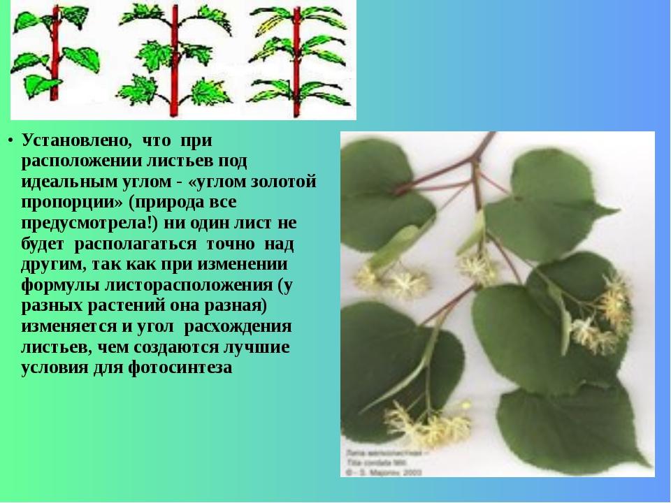 Установлено, что при расположении листьев под идеальным углом - «углом золото...