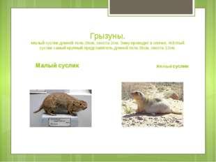Грызуны. Малый суслик длиной тела-20см, хвоста-2см. Зиму проводит в спячке. Ж