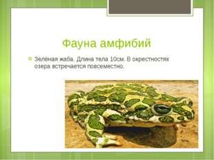 Фауна амфибий Зелёная жаба. Длина тела 10см. В окрестностях озера встречается
