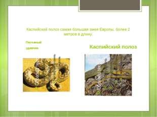 Каспийский полоз самая большая змея Европы, более 2 метров в длину. Песчаный