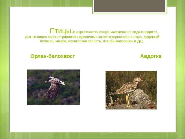 Птицы.В окрестностях озера Баскунчак 62 вида гнездится, для 16 видов зарегис...
