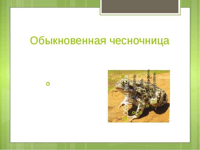 Обыкновенная чесночница Встречается в окрестностях пресных водоёмов в балках.