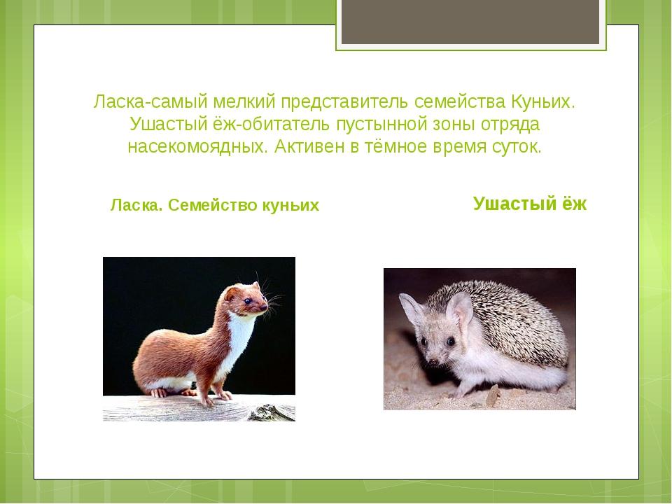 Ласка-самый мелкий представитель семейства Куньих. Ушастый ёж-обитатель пусты...