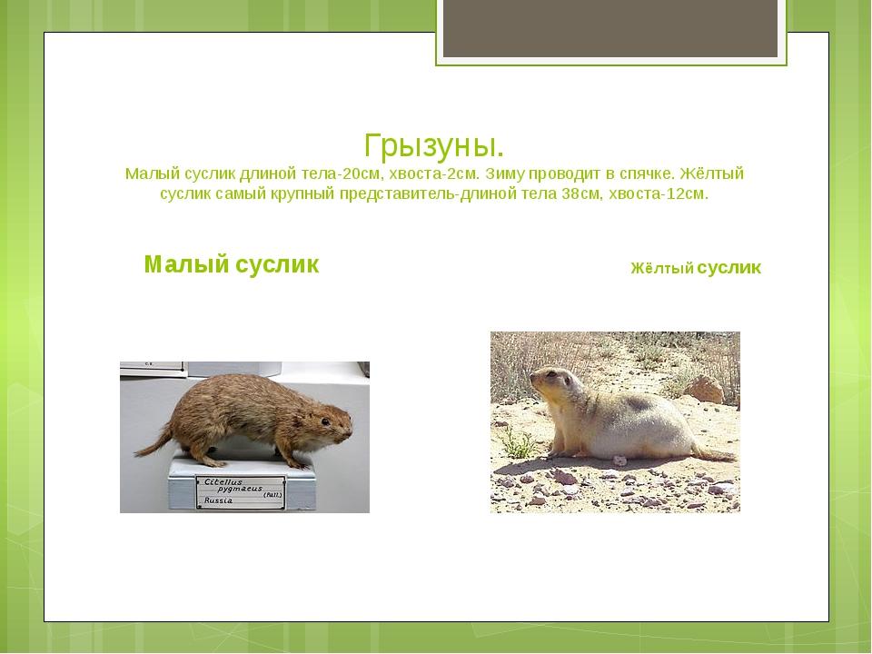 Грызуны. Малый суслик длиной тела-20см, хвоста-2см. Зиму проводит в спячке. Ж...