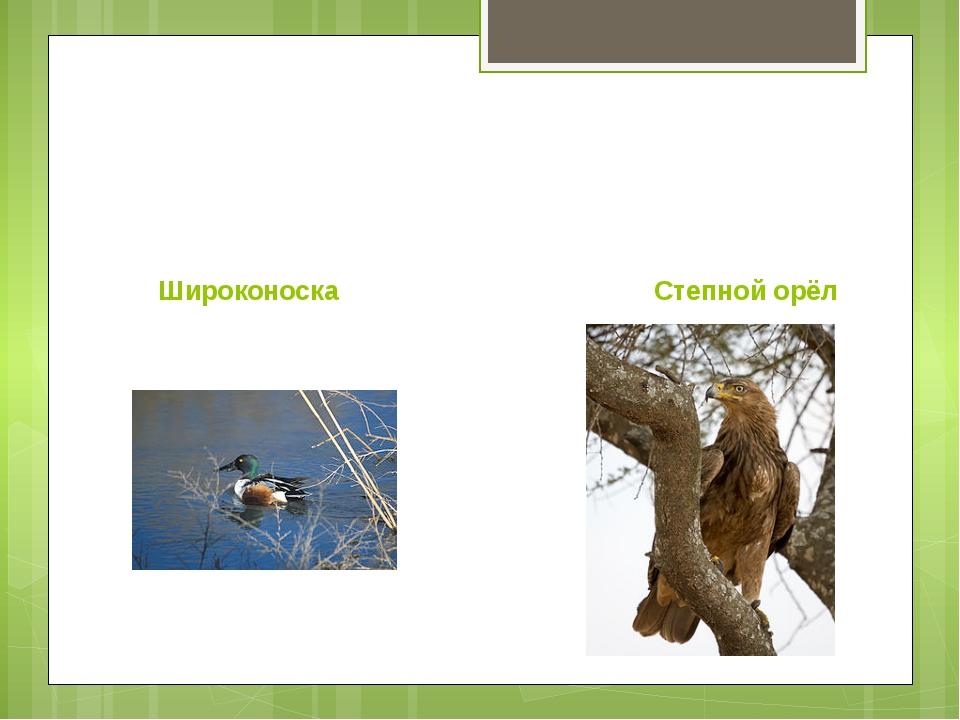 Широконоска Степной орёл