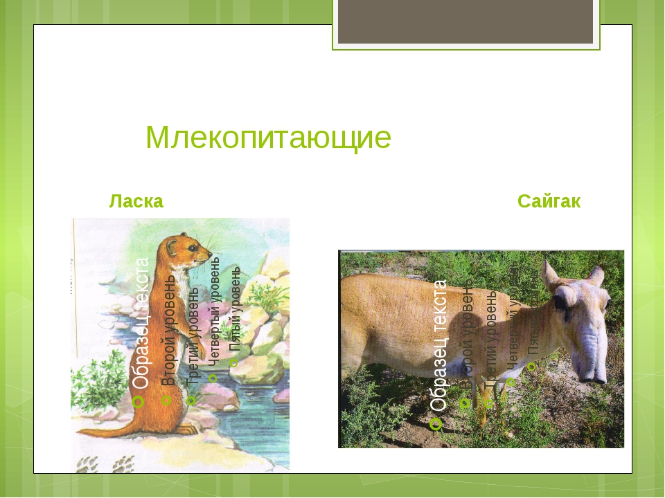Млекопитающие Ласка Сайгак