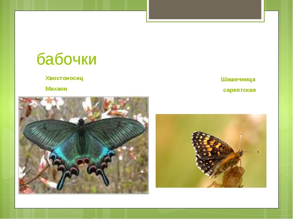 бабочки Хвостоносец Махаон Шашечница сарептская