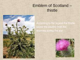 Emblem of Scotland – thistle According to the legend the thistle saved the co