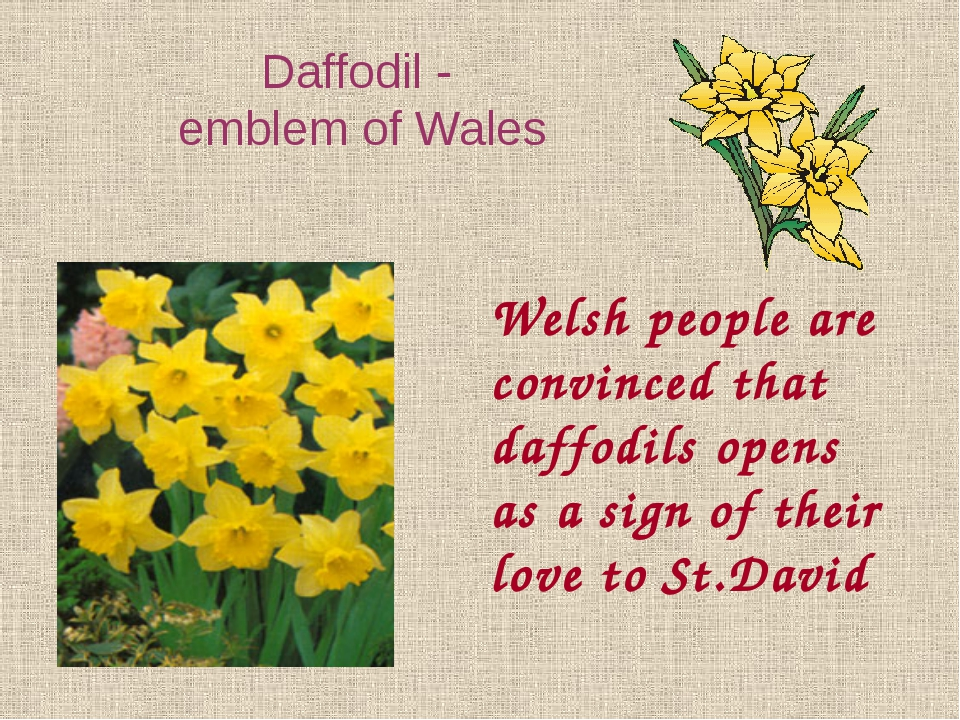 Welsh people are convinced that daffodils opens as a sign of their love to St...