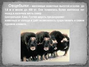 Овцебыки – массивные животные высотой в холке до 1.8 м и весом до 400 кг. Он