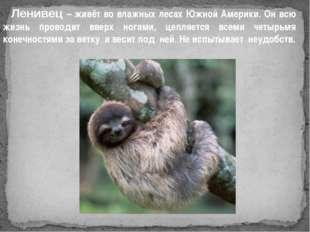 Ленивец – живёт во влажных лесах Южной Америки. Он всю жизнь проводит вверх