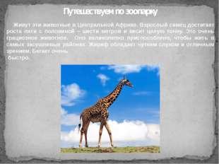 Живут эти животные в Центральной Африке. Взрослый самец достигает роста пяти