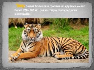 Тигр- самый большой и грозный из крупных кошек. Весит 200 - 300 кг. Сейчас т