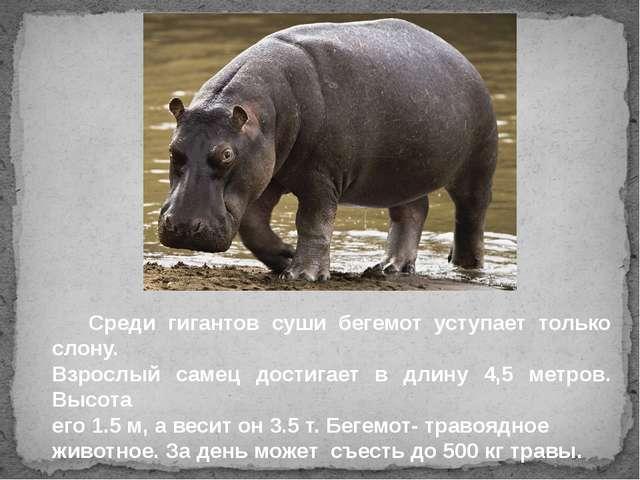 Среди гигантов суши бегемот уступает только слону. Взрослый самец достигает...