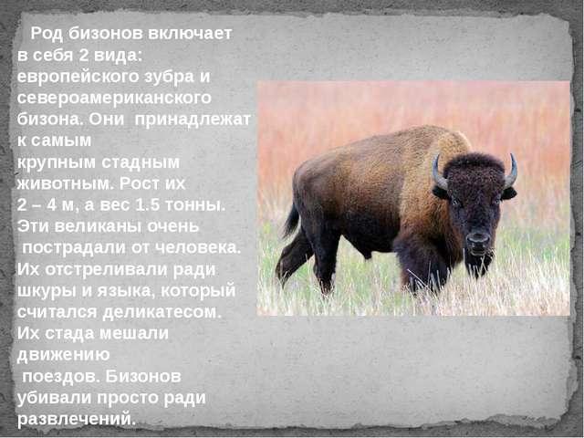Род бизонов включает в себя 2 вида: европейского зубра и североамериканского...