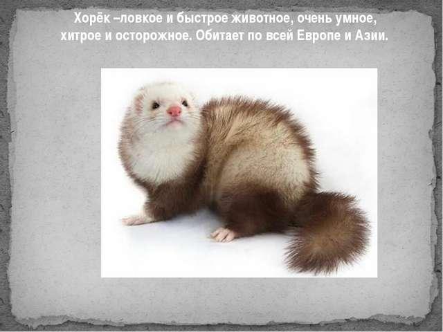 Хорёк –ловкое и быстрое животное, очень умное, хитрое и осторожное. Обитает...