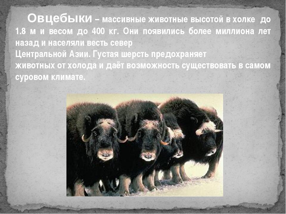 Овцебыки – массивные животные высотой в холке до 1.8 м и весом до 400 кг. Он...