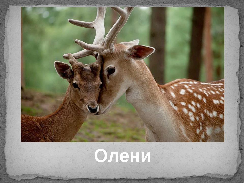 Олени