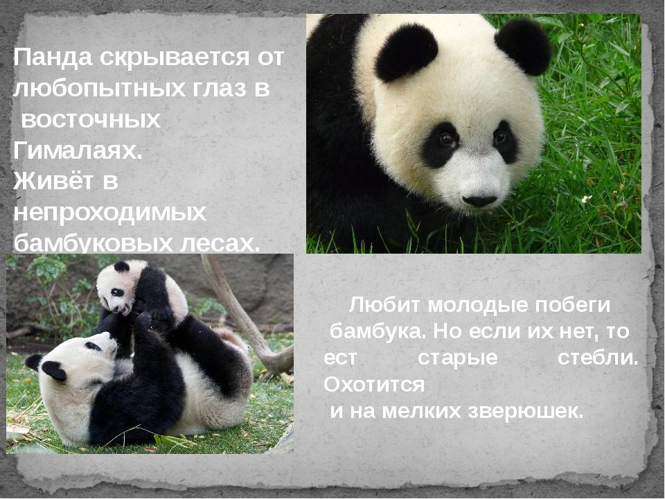 Панда скрывается от любопытных глаз в восточных Гималаях. Живёт в непроходимы...