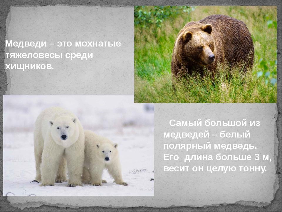 Медведи – это мохнатые тяжеловесы среди хищников. Самый большой из медведей...