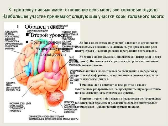 К процессу письма имеет отношение весь мозг, все корковые отделы. Наибольшее...